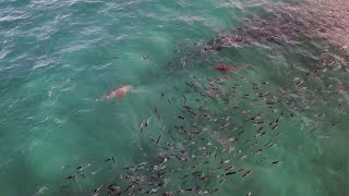 Sharks Lurk Near Popular Beach Shore