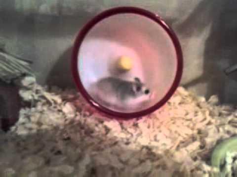 Crazy Hamsters Wheel Crazy Hamster