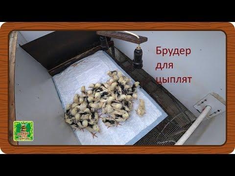 Автоматический брудер для птицы. Пересадка недельных цыплят.