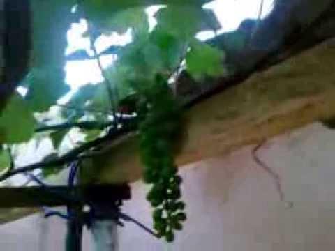 Como eh facil ter cultivar uva em casa youtube for Como cultivar peces en casa
