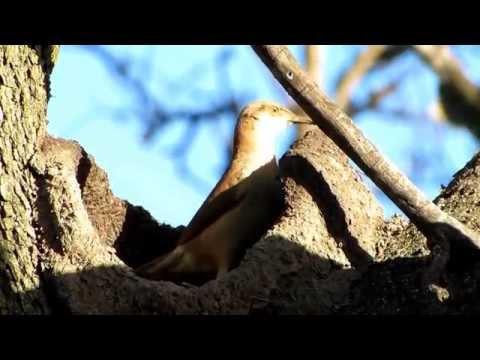 Increíbles fotos de un hornero haciendo su nido