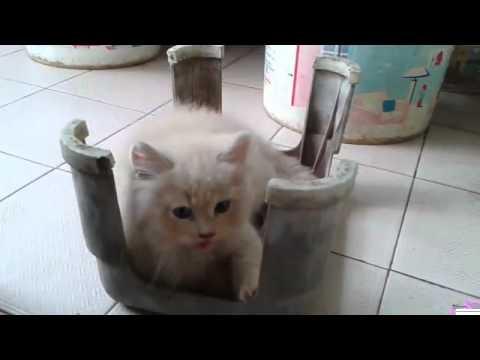 kitten persia medium 2bulan