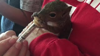 Baby squirrels rehabilitating after Irma   Digital Short