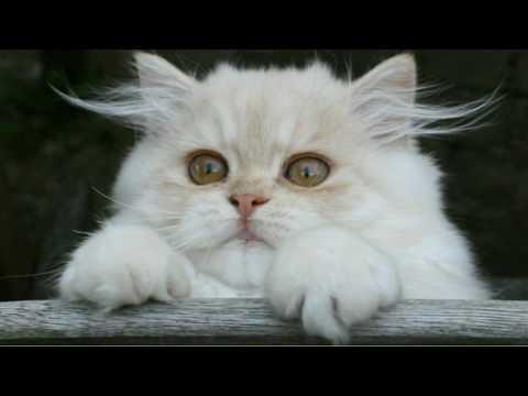 Cute Persian Cat Videos Persian Cat Video