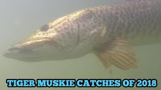 (Underwater tigers)Tiger Muskie Catches of 2018
