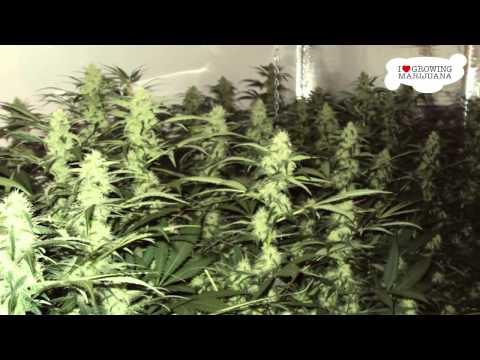 Growing Marijuana - WHITE WIDOW - Start To Finsh , 720p