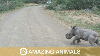 Baby Rhino Attempts To Scare Off Car