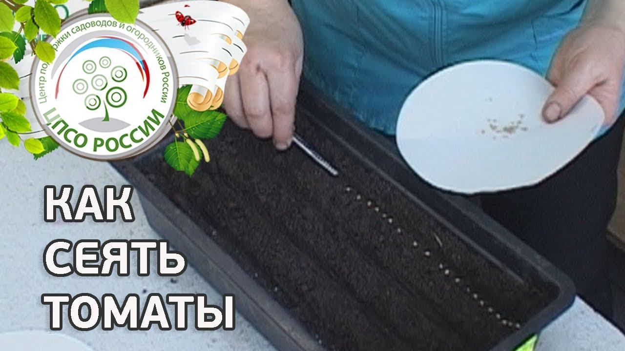 Как готовить семена томатов на рассаду 36