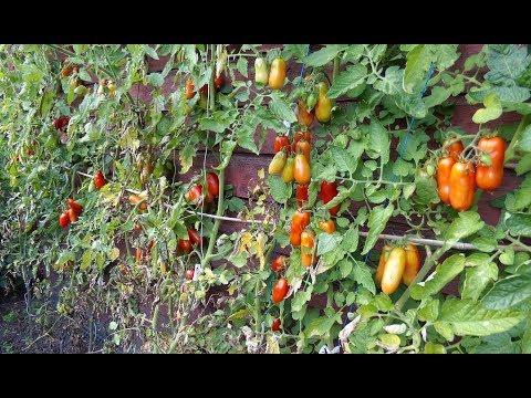Herbst: Ein Selbstversorgergarten voller frischer Gemüse und Tomatenspalier