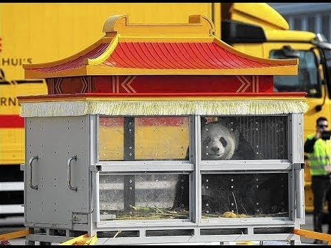 Panda's Xing Hui and Hao Hao Arrive at Zoo in Belgium
