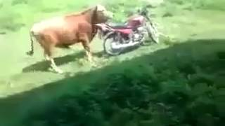 Cow Mating With a Bike Funny Video