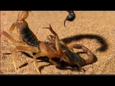 Discovery Channel Animals - scorpion vs Scorpion (BBC).mpg