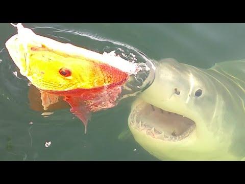 Great White Shark - Jacksonville, FL - Team Buck Rogers - Capt. Chad Starling