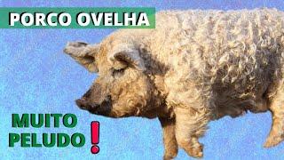 PORCO OVELHA! QUE RAÇA É ESSA? VEJA ESSE ANIMAL BEM CURIOSO!!!