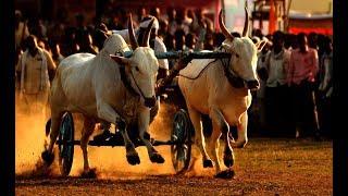 Bull Race Mohra sanu - Bewal Pakistan