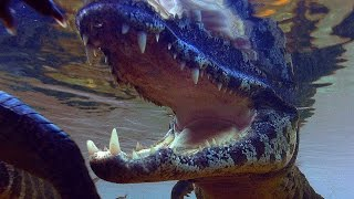 Caiman Snatches And Kills Stork - Planet Earth - BBC Earth