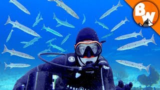 Surrounded by Razor Toothed Barracuda!
