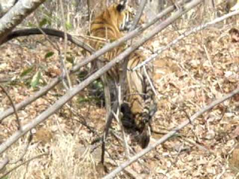 tiger at nagzira (maharashtra,india)