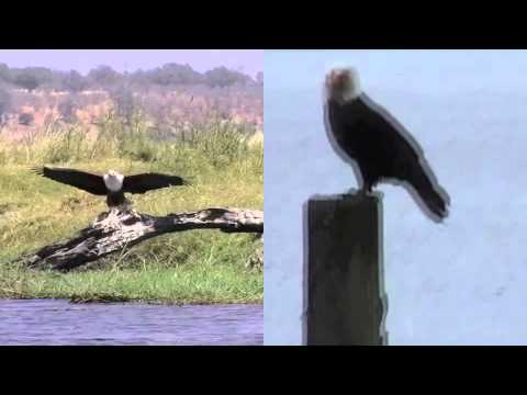 African Fishing Eagle Bald Eagle vs African Fish