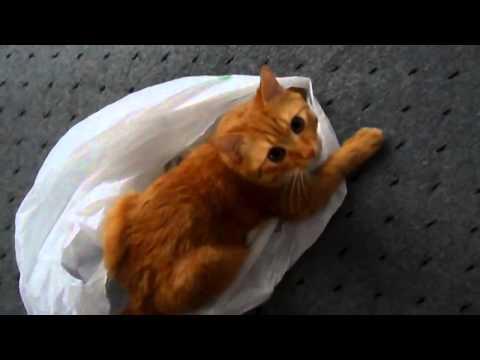 Прикол! Красивый рыжий кот Персик играет с пакетом  Joke! red cat plays with the package