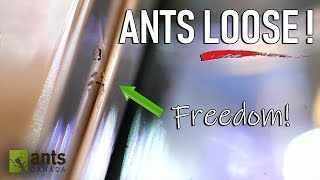 Allowing Ants to Free-Roam and Live in my Room