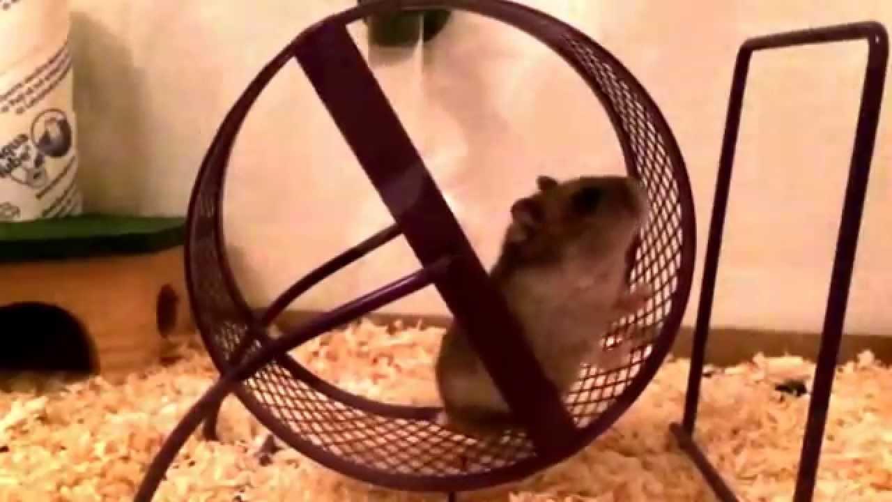 Crazy Hamsters Wheel Crazy Hamster Cindus Run