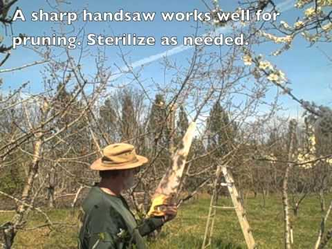 Pruning Cherry Tree