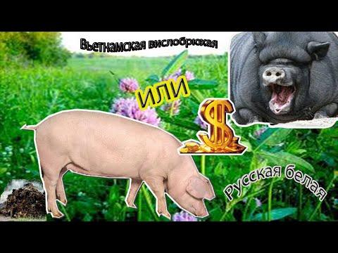 Сравнение свиней. Что выгодней. Какая порода лучше.  Зауральское подворье