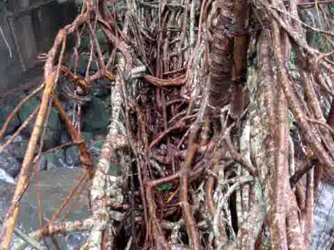Living Root Bridge in making   Cherrapunjee