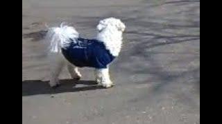 White Cute Dog Wear a Blue T-shirt