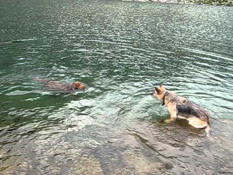 Giotto + Nina – Labrador chocolate & german Shepherd swimming