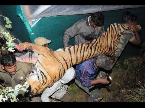 Man eating Tiger shot dead in Kappachi Village near Ooty, Nilgris District, Tamil Nadu, India