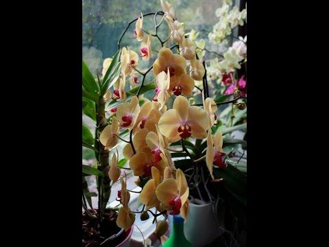 Орхидеи  дома. Удобрения для орхидей-Greenworlb. Phalaenopsis.Dendrobium nobile.Miltonia
