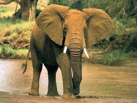Пьяный турист из России испугал слона  2013  Drunk tourist from Russia frightened elephant - 2013