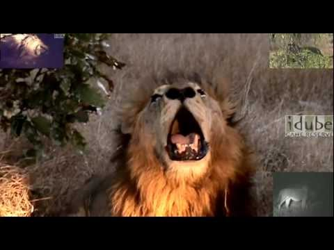Male Lions Roaring Together video