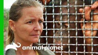 Rescuing A Frightened Baby Orangutan Trapped In A Hunter's Home | Orangutan Island