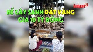 Xôn xao bể cây sanh dát vàng giá 10 tỷ đồng - SAIGONTV