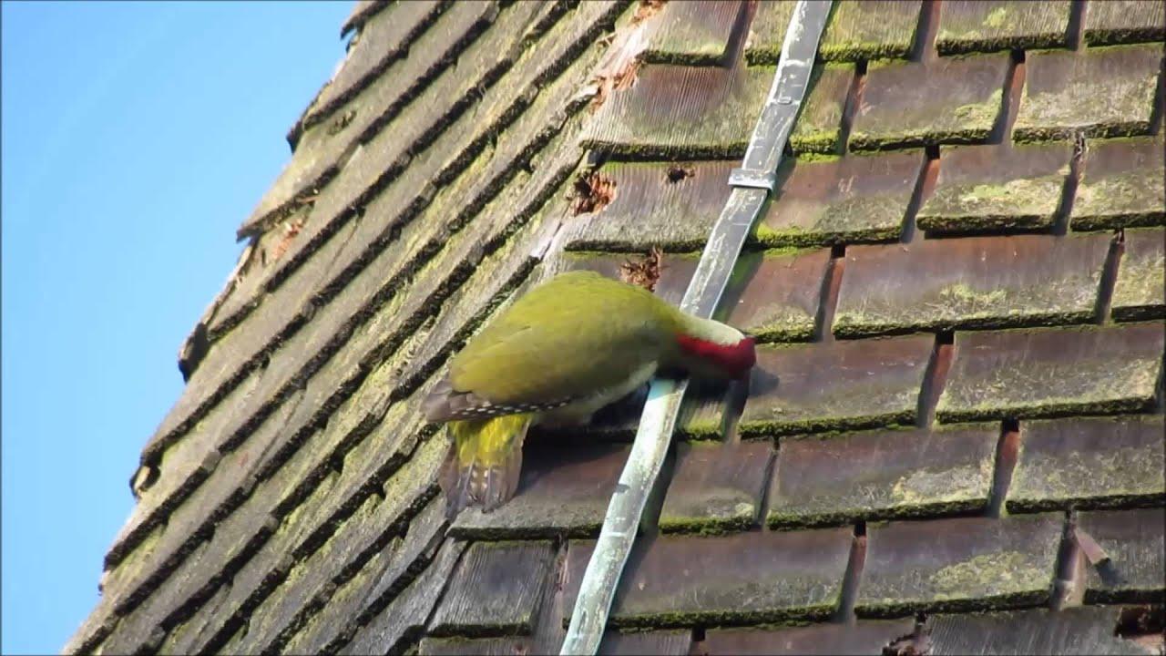 Downy Woodpecker House Woodpecker on my House