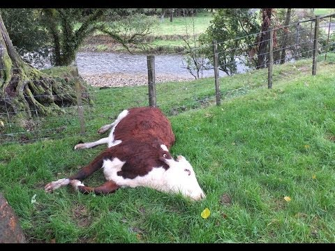 Cattle die after 1080 poison drop in Waikato