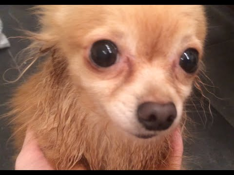 How to wash Chihuahua? | Как помыть чихуахуа?