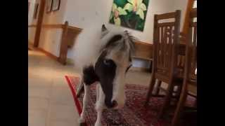 Einstein - The Smallest Stallion At Home