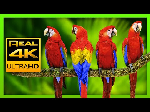 Colorful Macaw Parrots - Stunning Birds 🐦Sleep Relax Forest Ambient Sounds 4K UHD TV Screensaver