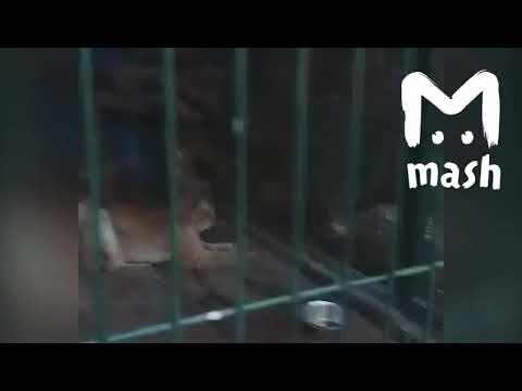 В России спасли рысь после аварии на трассе Екатеринбург- Челябинск