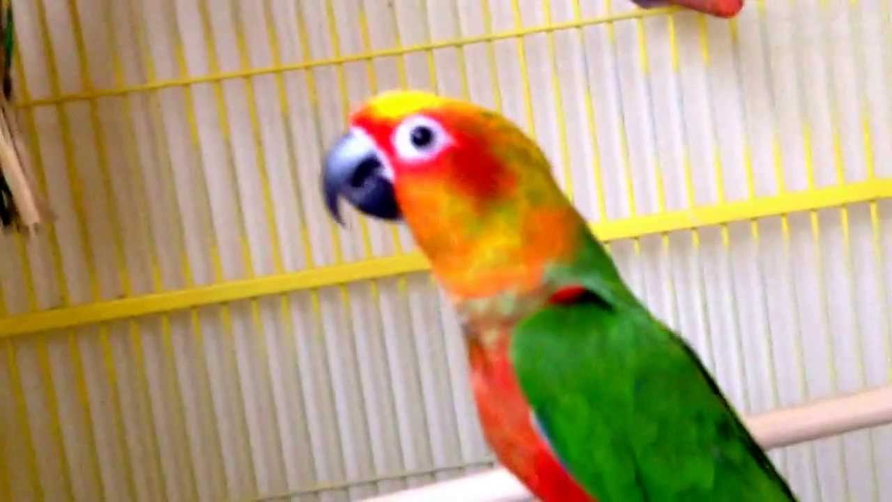 Sun Conures Flying Sun Conure And Jenday Conure