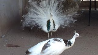 Unkown facts about peacock in tamil