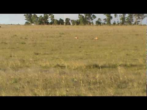 Galgas cazando liebre