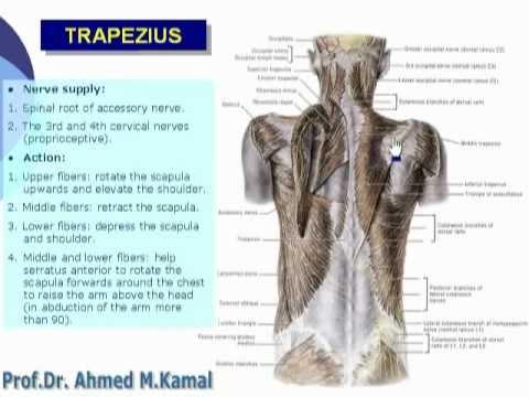 Trapezius ridge anatomy 8037846 - follow4more.info