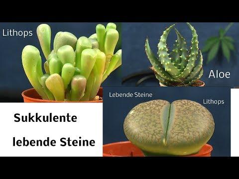 Sukkulente. Lebende Steine und andere Wasserspeichernde Pflanzen
