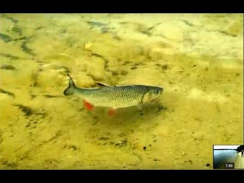 """Ловля Голавля на майского жука с самоогружающимся поплавком . """"О Рыбалке Всерьез"""" видео 2."""