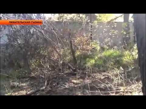 Медведь на улицах Бийска (Новости ОТН, 29.09.14г., Бийск)